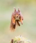 06-CM-Red squirrel jumping