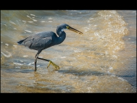 07-DT-Indian Sea Heron