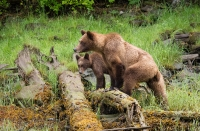 10-KM-grizzly mother and cub